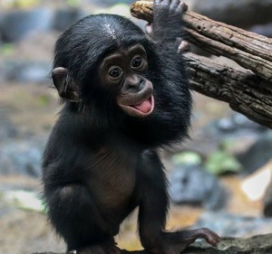 Zoo Chimp